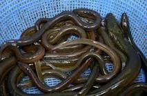 Photo of Pesca y comercialización de Anguila podrían provocar muertes en Montecristi